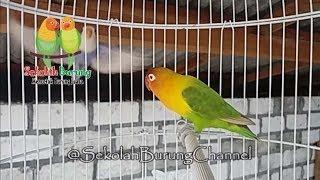 Gambar cover Memancing Labet Langsung Bunyi Mendengar Suara Lovebird Singing, 100% Efektif Memanggil Labet Lepas