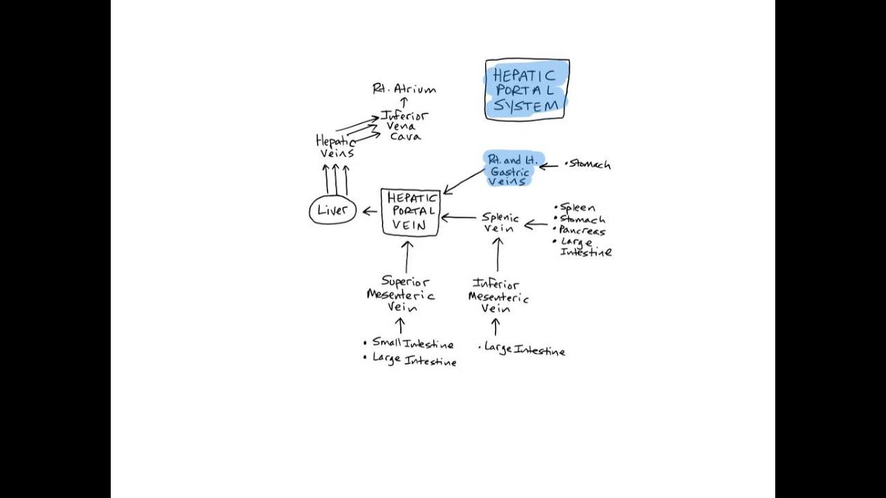 hepatic portal system - youtube, Human Body