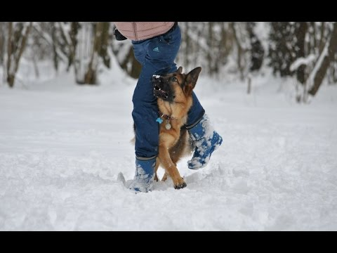 German Shepherd Maxi (tricks)