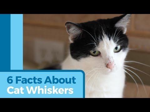 6 Awesome Facts About Cat Whiskers