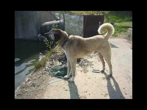 kangal dog barking youtube. Black Bedroom Furniture Sets. Home Design Ideas