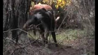 Ginga Wild Pigs, Otago New Zealand