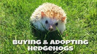 Where to Buy or Adopt a Hedgehog