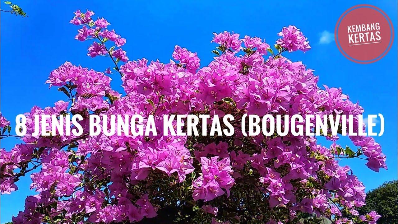 8 Jenis Bunga Kertas Bougenville Full Hd 1080p Warna Warni