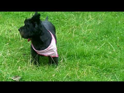 Fab Fergus Cairn Terrier.