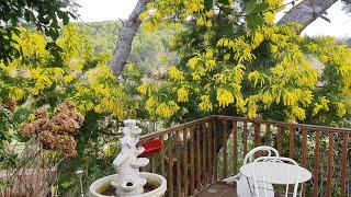 ЗАПАХ ВЕСНЫ. МИМОЗА и ОБЗОР  САДа по вашим просьбам/Мой уютный дворик в Провансе в любое время года