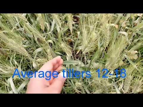 Sriram super 231 wheat variety||Jaivic Science