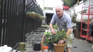 Tony's Tips - How to re-pot a Gardenia
