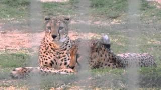 Мир живой природы, леопарды, львы, пантеры