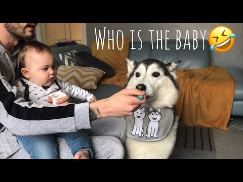 I think my Siberian Husky is more of a Baby than my Baby!