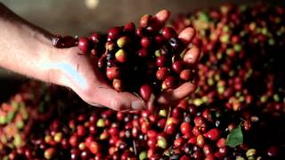 Aceh Coffee Indonesia