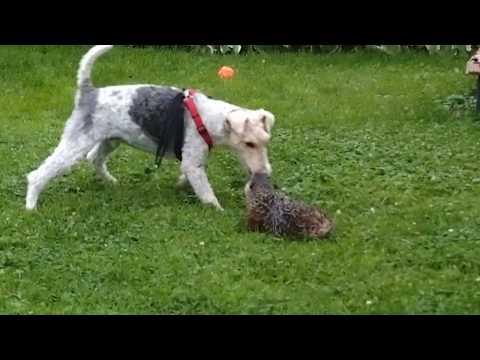 Wire fox terrier vs ground hog / woodchuck