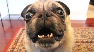 Смешные собаки лай Видео Подборка