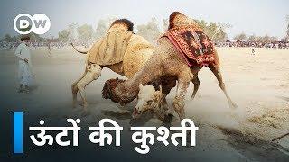 पाकिस्तान में ऊंटों की कुश्ती [Camel Fights in Pakistan]