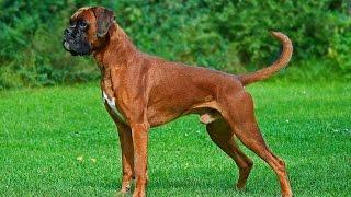 Boxer Dog Documentary (info, temperament, training tips)