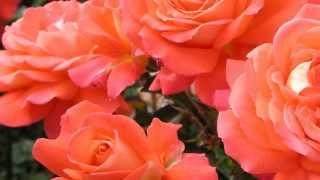 """♥ """"Yesterday"""" - The Lettermen"""