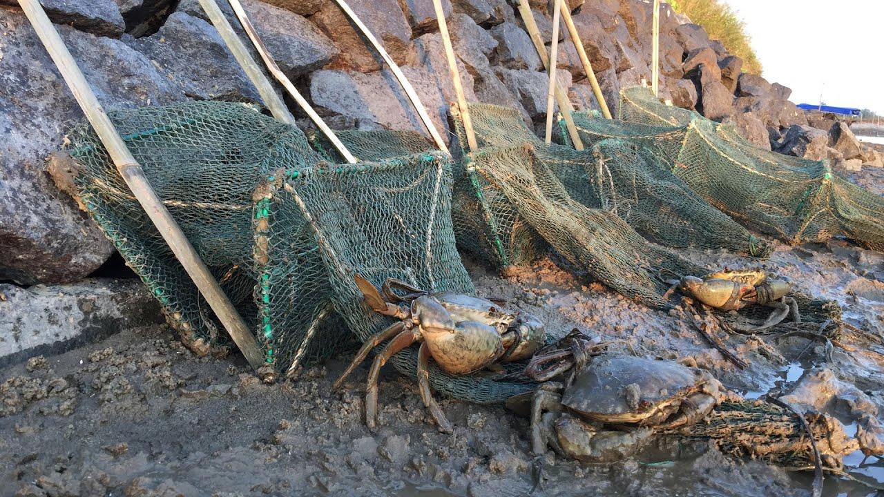 闲牛赶海花样不断,这次又用老渔民传授的抓蟹方法,收获到了大货
