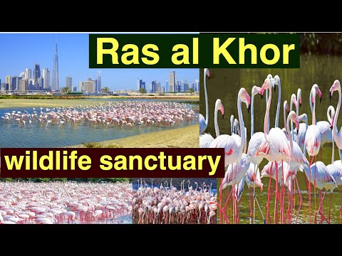 Ras Al khor  wildlife sanctuary | Flamingo Birds | Dubai wildlife | UAE sanctuary | Birds lover blog