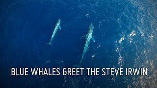 Blue Whales Greet Steve Irwin