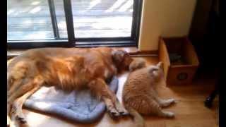 Douglovescharlie: A Quick Cuddle (exotic Shorthair + Golden Retriever)