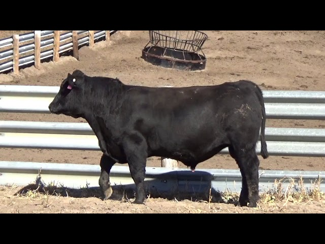 Connealy Angus Lot 67