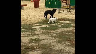 Белая Кошка, Чёрная Собака и Птица.
