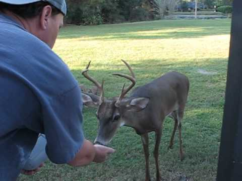Feeding A Six Point Buck Scott Great Animals Backyard