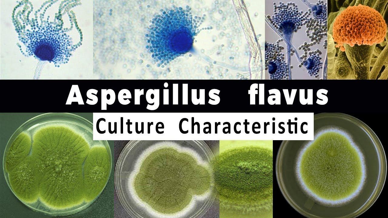 aspergillus gomba parazita