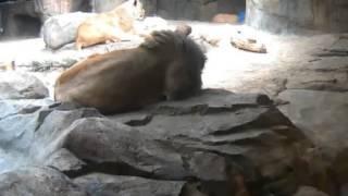 Lwy afrykańskie w ZOO Milwaukee