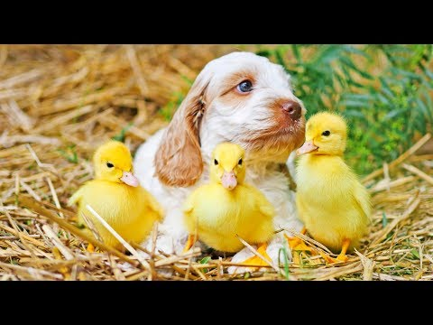 PUPPIES playing with baby DUCKLINGS [SUPER CUTE!!!]