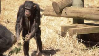 多摩動物公園 チンパンジー 2017年3月撮影 Chimps at Tama Zoological P...