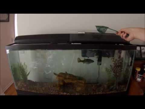 Bass, Knifefish, And Channel Catfish Devour 20 Feeder Fish