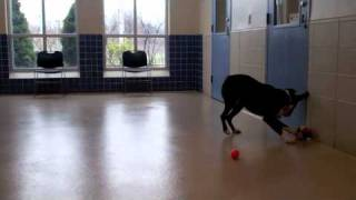 Otis A Labrador Retriever:english Springer Spaniel Mix Available For Adoption At The Wisconsin Humane Society