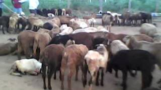 Sheep Farming in India, Hyderabad Livestock and Farms (HLSF), Andhra Pradesh, India