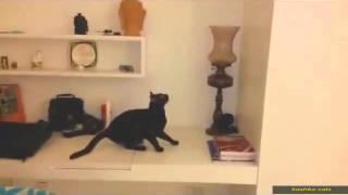 Видео приколы про кошек! Сумасшедшие прыжки кошек!