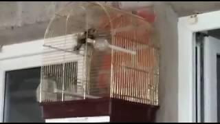 Видео от единомышленников(певчие птицы дома)