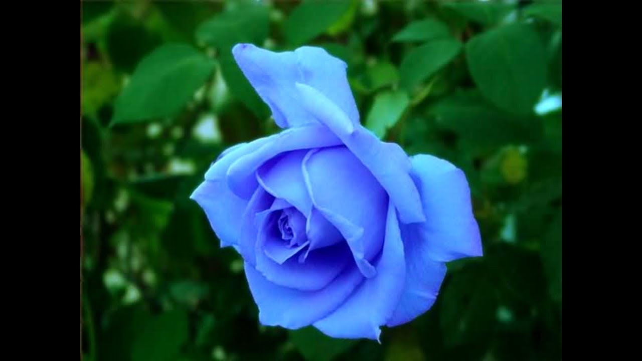 Top 10 beautiful flowers rose rose flower beautiful roses beautiful top 10 beautiful flowers rose rose flower beautiful roses beautiful rose flowers part 5 izmirmasajfo
