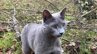 Caspian, a Russian blue cat posing for the video