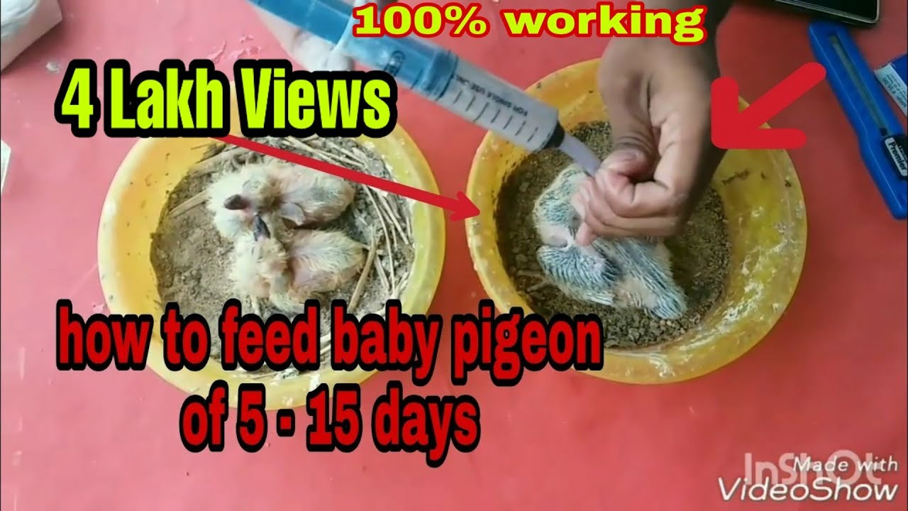 #pigeons #1| How to feed baby pigeons of 5 to 15 days ...