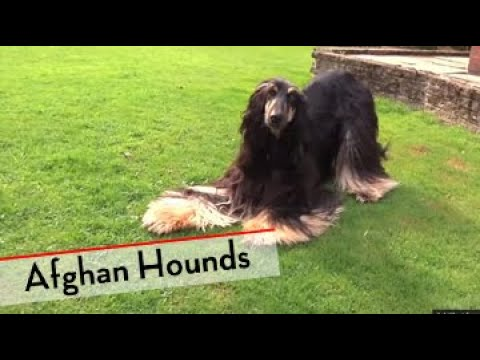 Afghan Hound - Bests of Breed