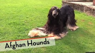 Afghan Hound  Bests of Breed