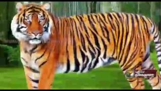 Features of tigers - Special report