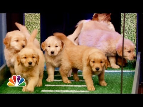 Puppies Predict the 2013 NFL Season Opener (Late Night with Jimmy Fallon)