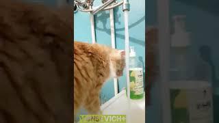 Четкие коты умываются именно так