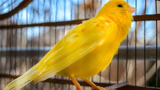 The Ultimate Canary singing video from a legend  Powerful canary training song