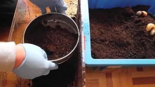 実家の堆肥の山から採取した、カブトムシの幼虫を2頭だけ持ち帰ったのが...