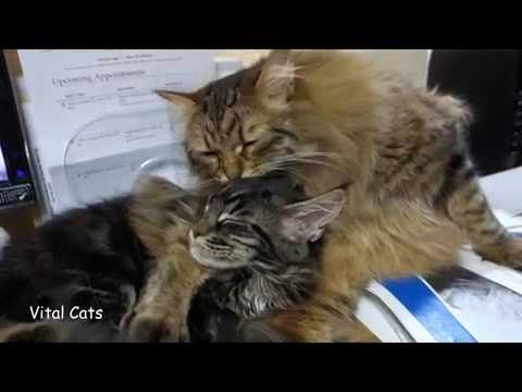 Vital Cats 13: Siberian has Maine Coon Pinned-down with Leg