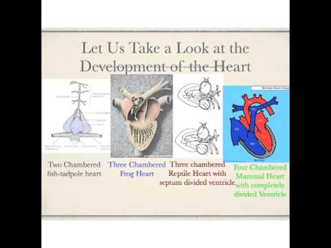 Ectotherms to Endotherms Development of the 4 Chambered Heart