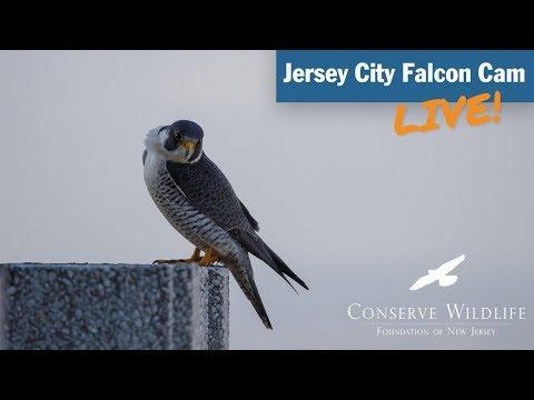 Jersey City Falcon Cam