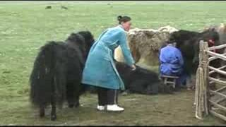 Mongolia - yak milking.